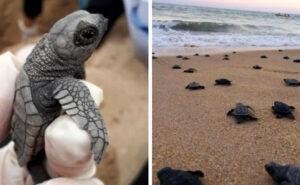 97 piccole tartarughe marine in via d'estinzione sono nate sulle spiagge del Brasile deserte per il coronavirus