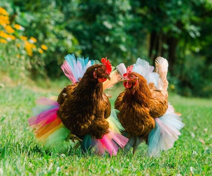 Tutù gallina