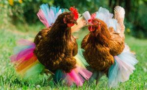 Finalmente ora puoi comprare un tutù per la tua gallina domestica