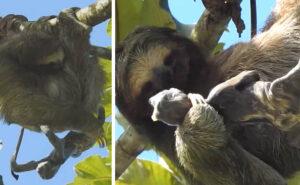 Un raro video mostra il momento in cui mamma bradipo partorisce su un albero