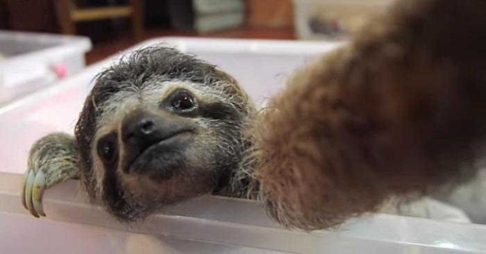 Un piccolo bradipo incuriosito da una macchina fotografica si scatta una serie di selfie