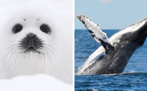 """La caccia a balene e foche continua durante il coronavirus perché attività """"essenziale"""""""