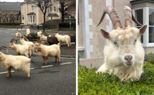 Un gregge di capre è braccato dalla polizia del Galles durante il coronavirus lockdown