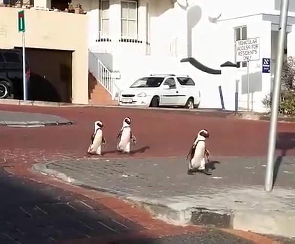 Pinguini selvatici decidono di riprendersi la citt� durante l'isolamento a Citt� del Capo, Sudafrica