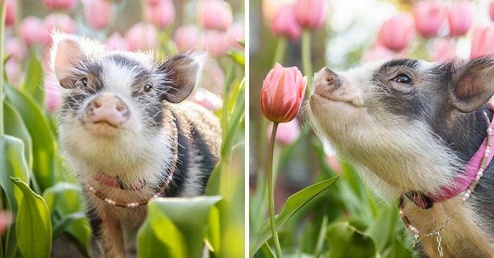 Le foto di un dolcissimo maialino in un campo fiorito