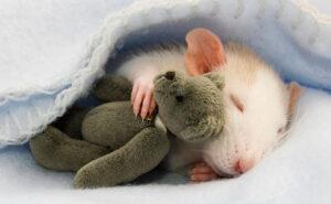 Due donne scattano foto adorabili dei loro ratti con teneri orsacchiotti