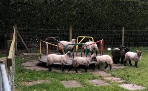 Pecore si spingono sul girello in un parco giochi per bambini vuoto e sono adorabili