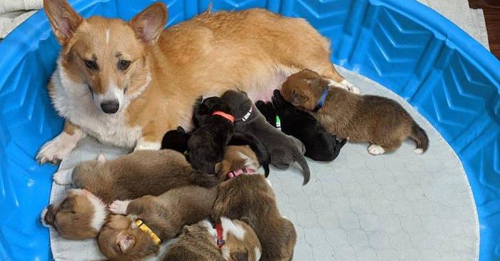 Mamma corgi adotta cuccioli di pitbull e li tratta come figli suoi