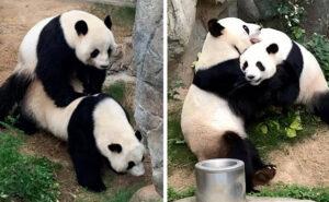 2 Panda giganti si accoppiano in uno zoo vuoto per il coronavirus, la prima volta in 10 anni insieme