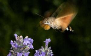 L' uccellino delle buone notizie: l'incontro con due sfingi colibrì