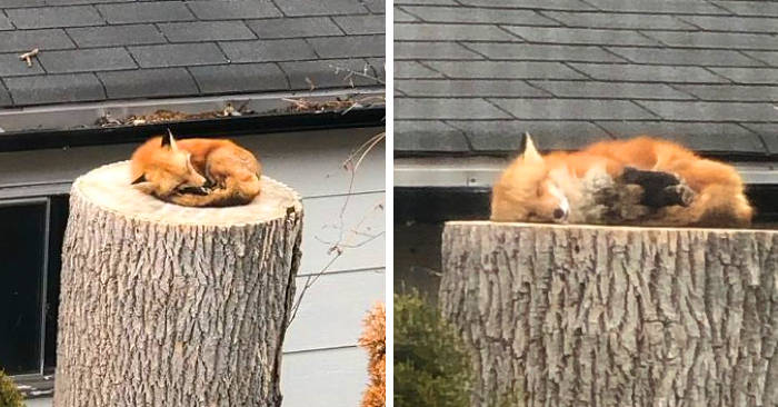 Una volpe dorme su un tronco nel giardino di casa e diventa simbolo della natura in assenza dell'uomo