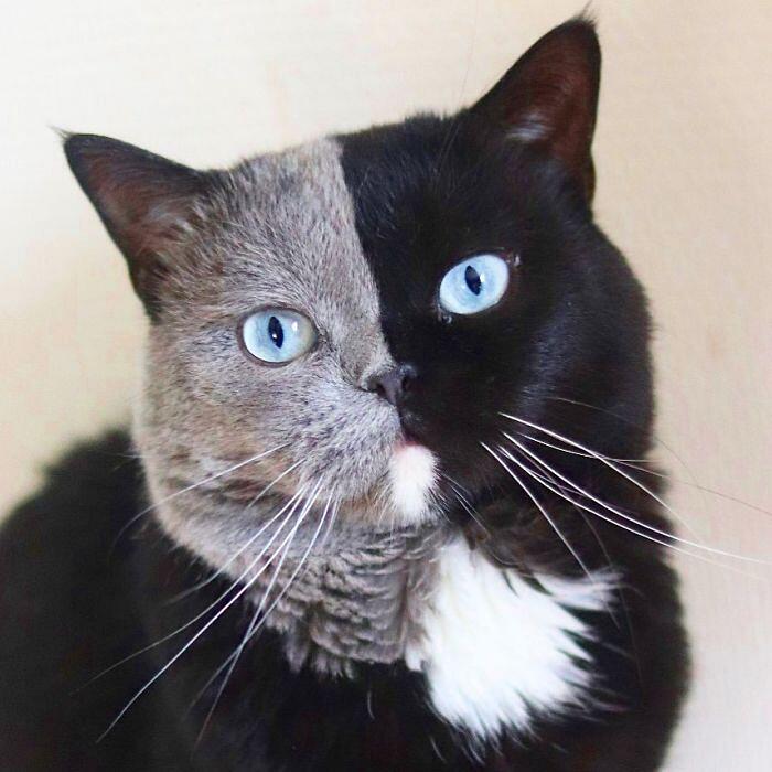 """Narnia il gatto con """"due facce"""" diventa papà: i gattini ereditano un colore a testa"""