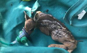 Vigili del fuoco salvano cerbiatto da un incendio con un'apposita mini maschera per ossigeno