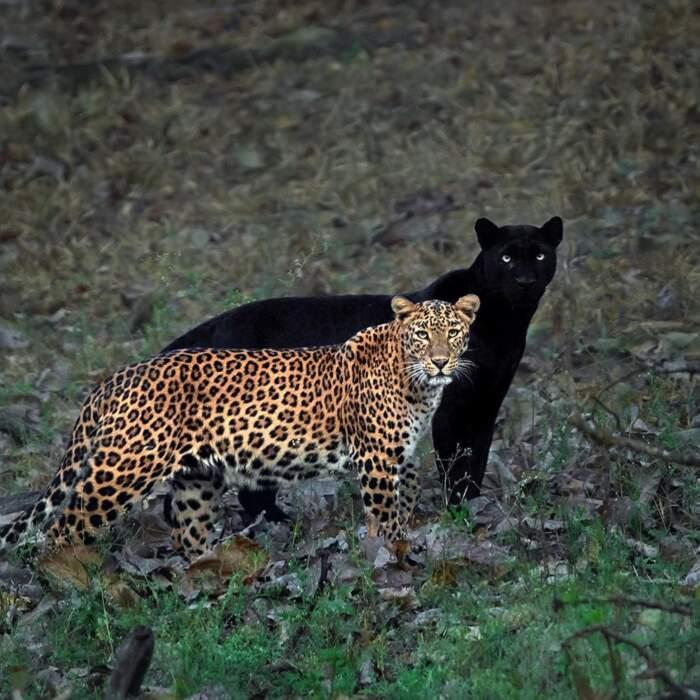 Una rara pantera nera diventa l'ombra di un leopardo in un'incredibile foto scattata in India