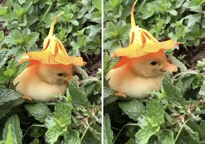 Il video adorabile di un anatroccolo che si addormenta con un fiore in testa