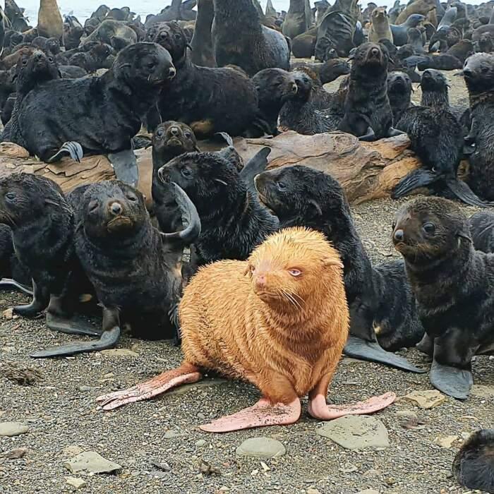 Cucciolo di rara foca dorata viene respinto dai suoi simili come il brutto anatroccolo
