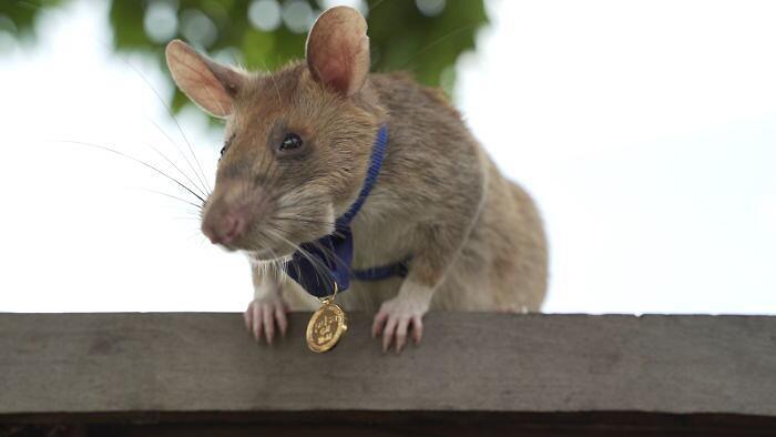 Ratto trova mine terrestri riceve medaglia d'oro PDSA