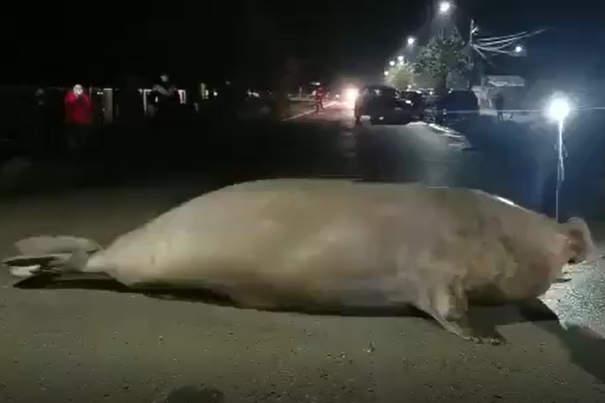 Elefante marino si perde nella città in lockdown e 50 persone si uniscono per aiutarlo