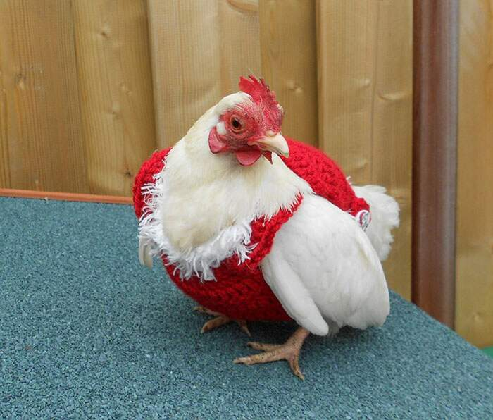 Regala un po' di calore al tuo pollo o alla tua gallina con questi maglioni da 13 euro