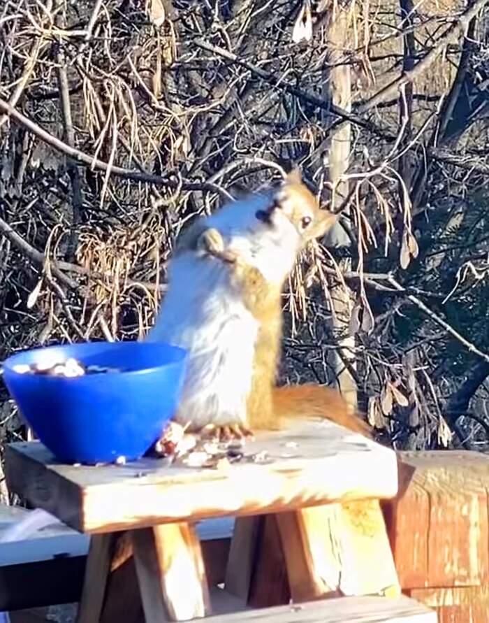Scoiattolo si ubriaca mangiando pere fermentate (video)