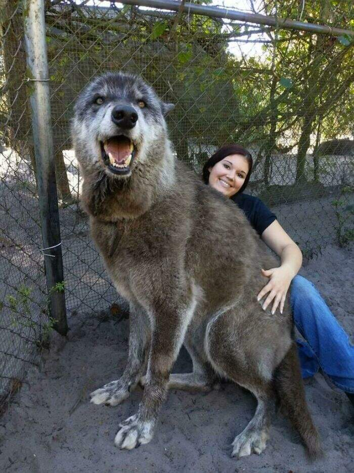 60 cani che non hanno idea di quanto siano enormi (nuove foto)