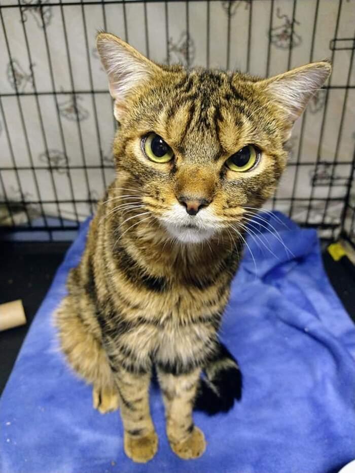 Giggles, il gatto randagio dall'aria burbera ma che ama le coccole, ha trovato casa