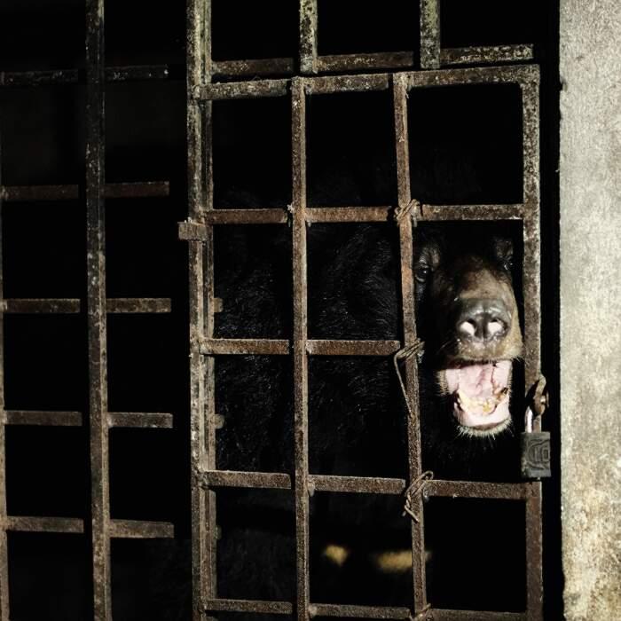 Due orsi tenuti in gabbie buie per 17 anni sono stati salvati da una fabbrica di bile