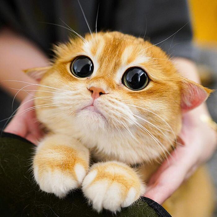 Vi presentiamo Pisco, il micione che sembra il gatto con gli stivali di Shrek (21 foto)