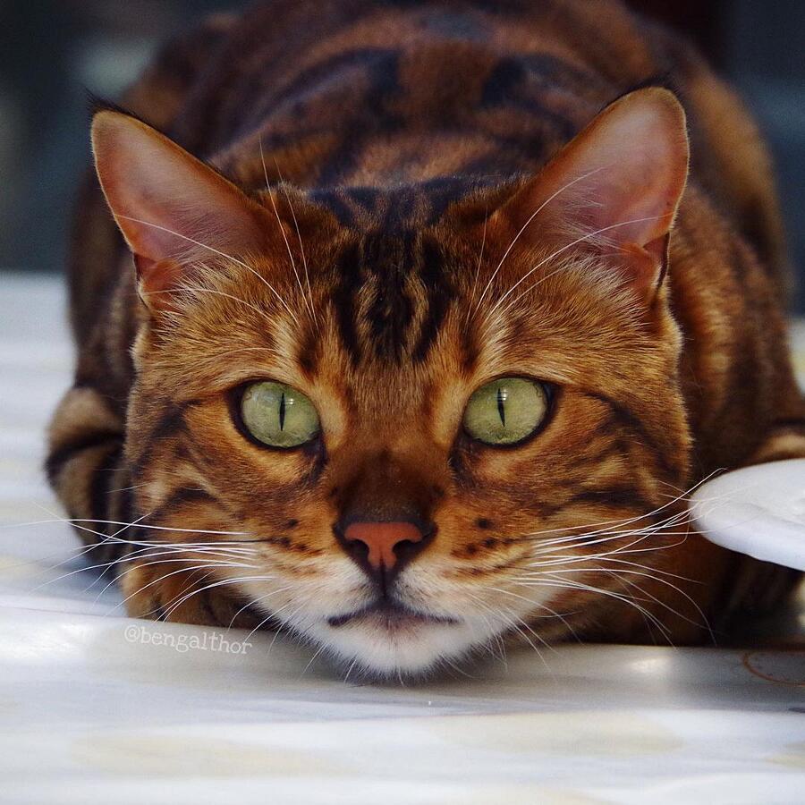 Vi presentiamo Thor, un gatto Bengala tra i più belli al mondo (24 foto)