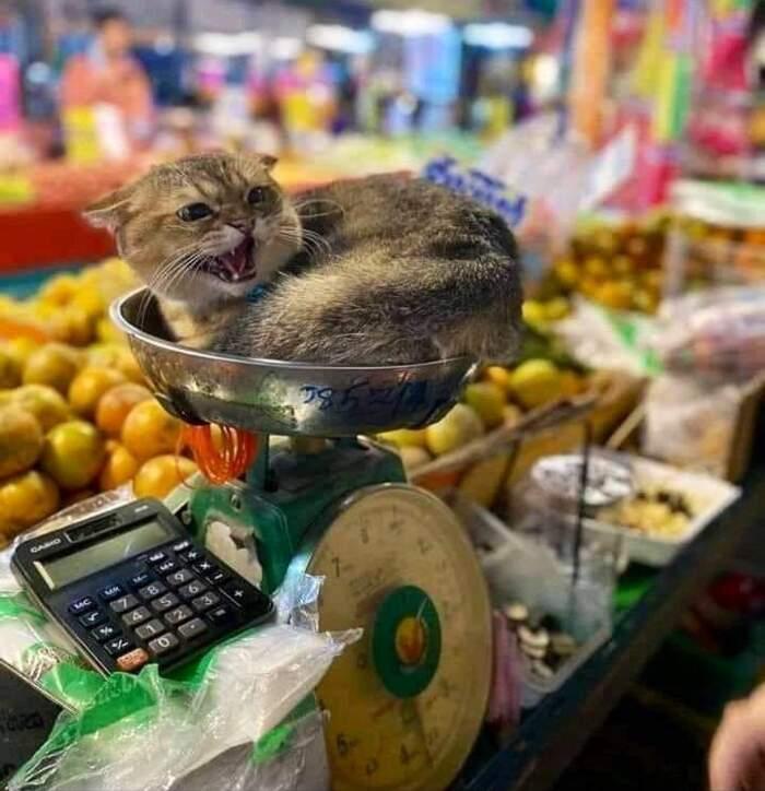 50 foto di gatti che vivono in negozi e minimarket mostrano come si tiene la situazione in pugno